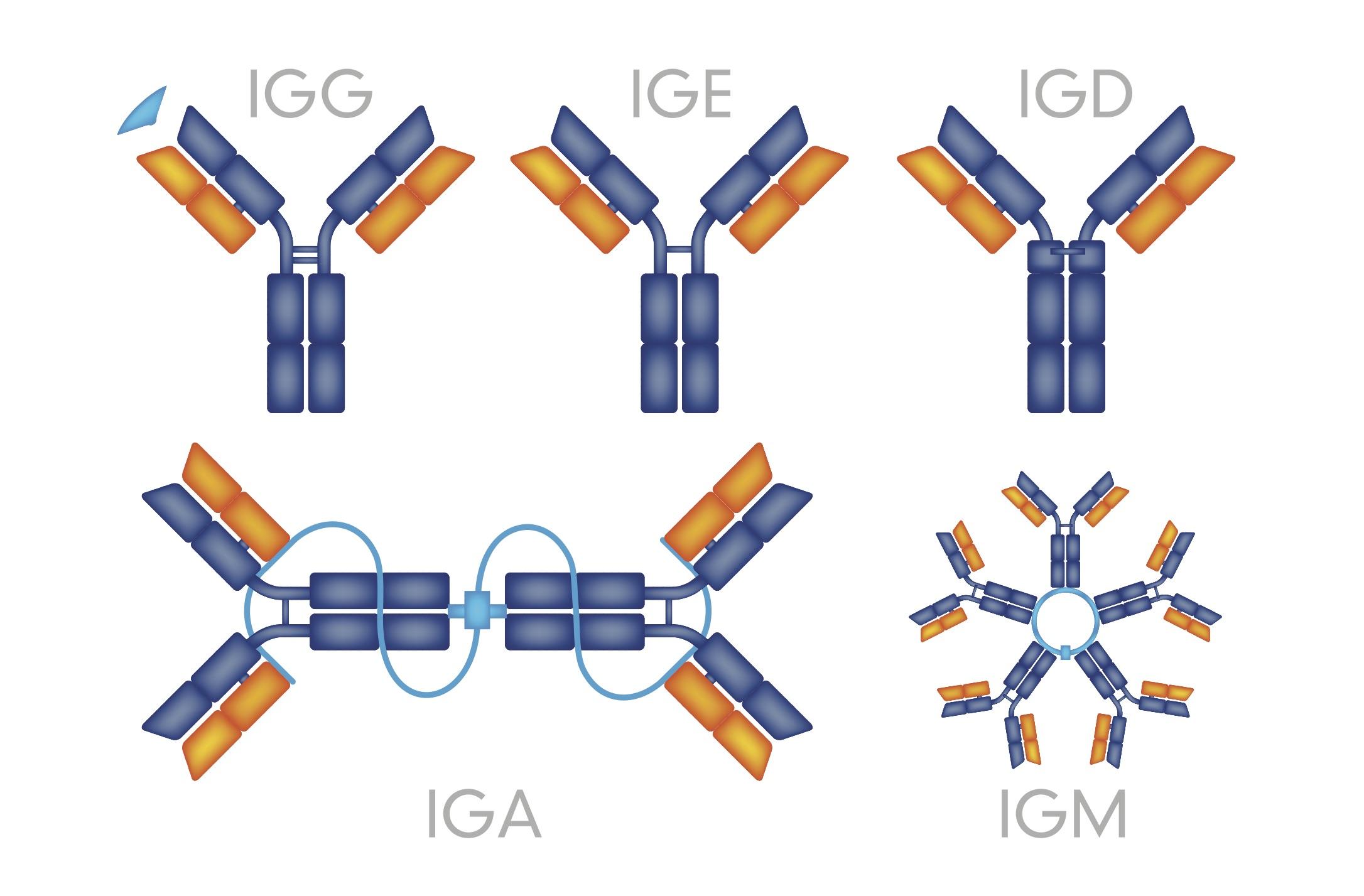 immunoglobulin G, A, M, and E