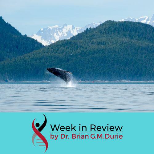 humpback whale breaching glacier bay, alaska - sq