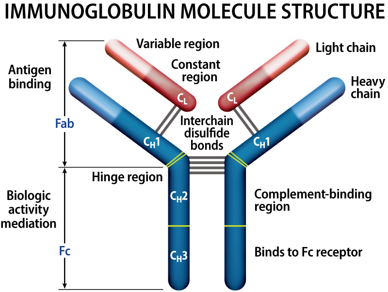 Structure of immunoglobulin in multiple myeloma