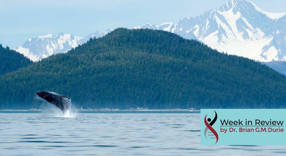 humpback whale breaching glacier bay, alaska