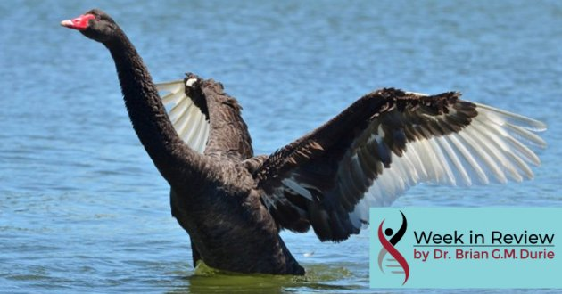 Black Swan taking flight off a lake