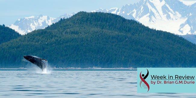 humpback whale breaching glacier bay, alaska - small